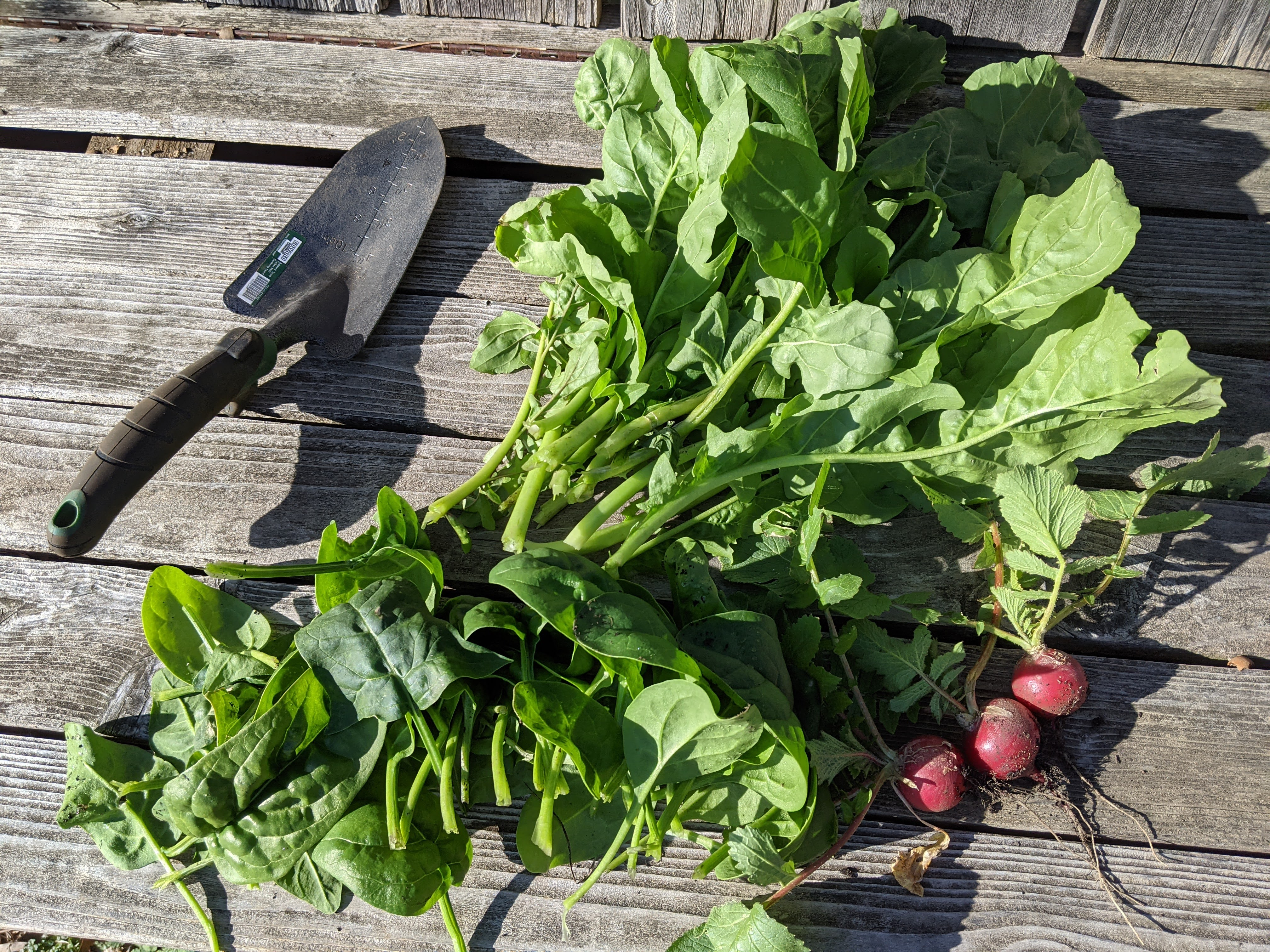 On a wooden surface, a garden trowel lies in the sun next to some freshly harvsted, leafy radishes.